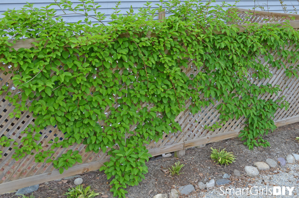 Hardy kiwi vine on lattice enclosure for ac and garbage cans