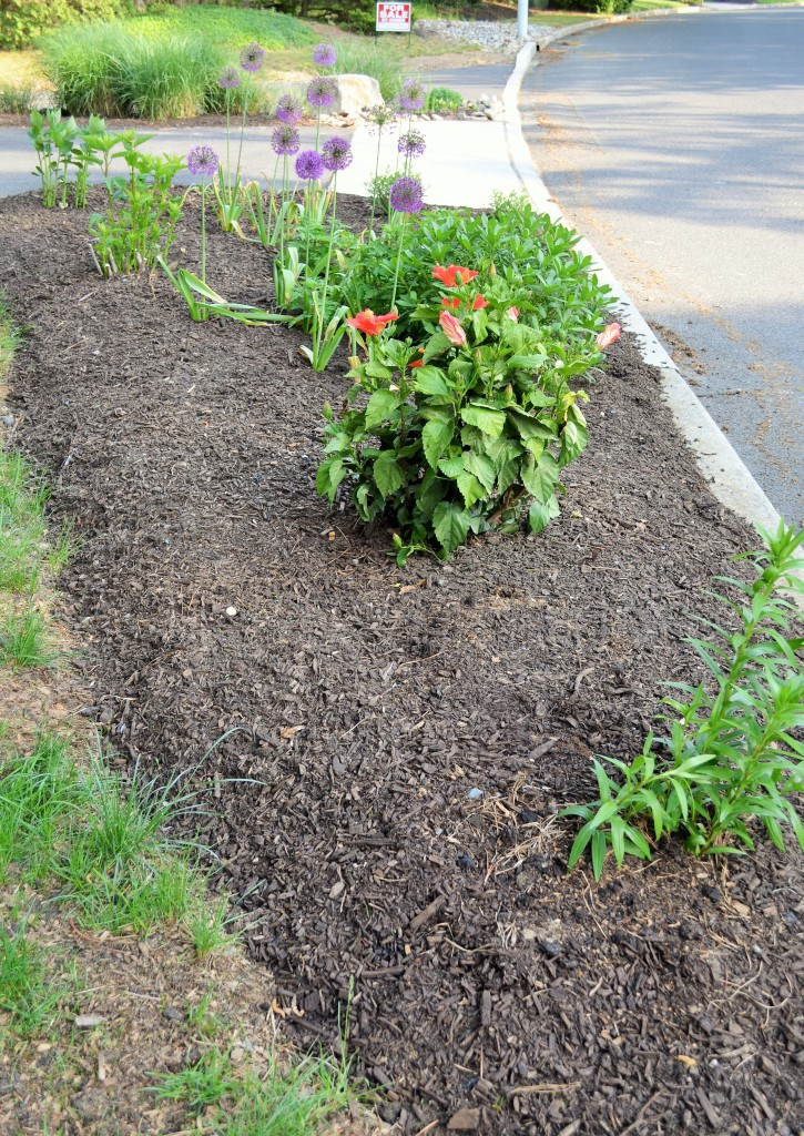 Garden bed by the road got mulch -- people stop their cars to ask about the ALLIUM flowers