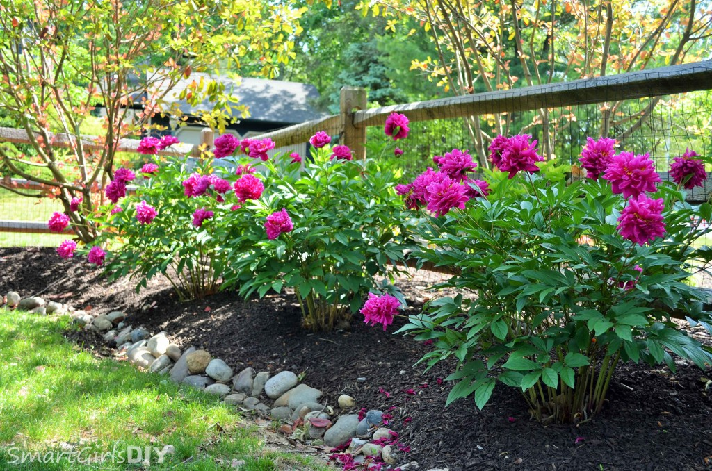 Backyard peonies behind a fence