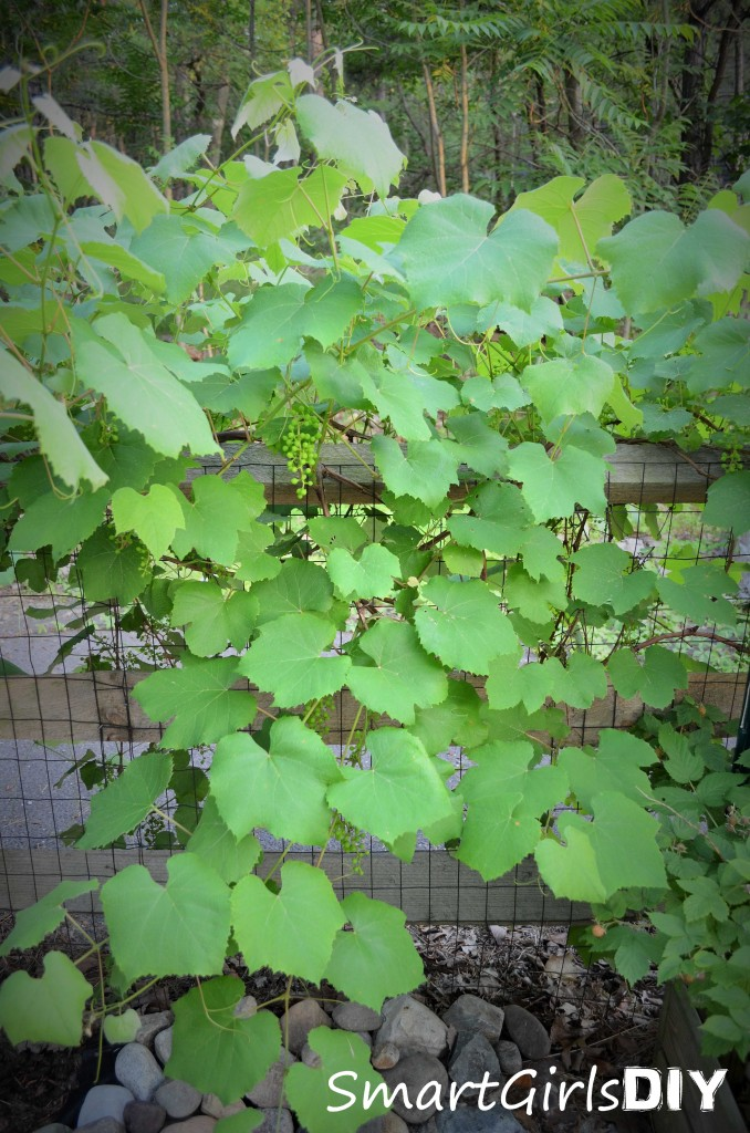 Growing grapes in a backyard garden