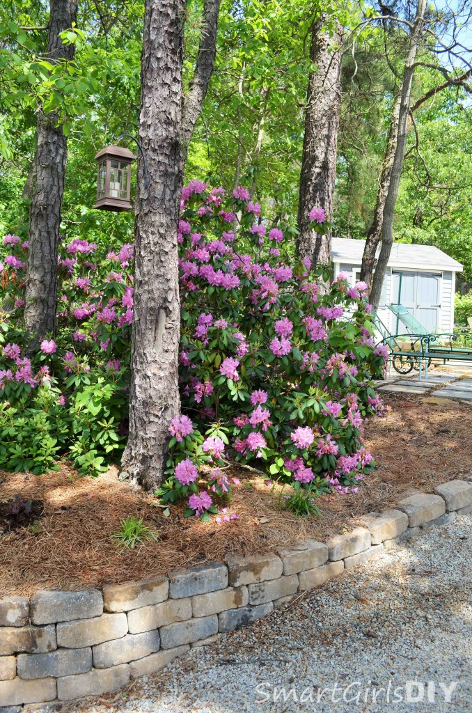 rhododendron along gravel path with hanging lantern